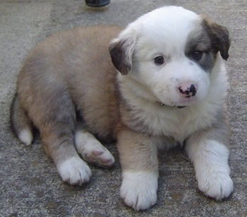 The right side of a brown with white Australian Retriever puppy that is laying across a carpet and it is looking forward.