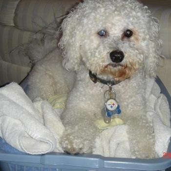 Max the Bichon Frise dog laying in a basket filled with towels