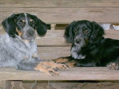 Two Blue Spaniel Puppies are laying face to face across a wooden bench, but they are looking forward.