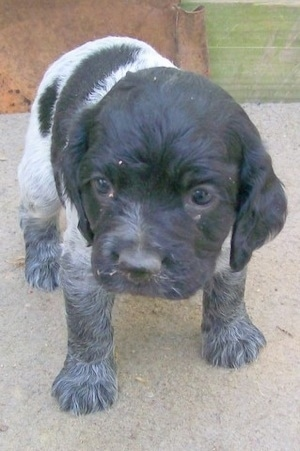 Close up - A Blue Spaniel puppy is standing on cement and it is looking forward.
