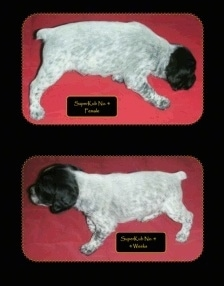 Two pictures of a Brittany Bourbonnais puppy. The top is a right profile of a Puppy on a towel with the words 'Superkub Female' overlayed. The bottom photo is a left profile of a Puppy standing on a towel with the words 'Superkub' overlayed