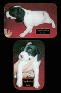 Two pictures of a Brittany Bourbonnais puppy. The top is a left profile of a Puppy on a towel with the words 'Superkub No.6 Female' overlayed. The bottom photo is a photo of a Puppy being held in a hand with the words 'Superkub No.6' overlayed