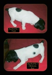 Two pictures of a Brittany Bourbonnais puppy. The top is a right profile of a Puppy on a towel with the words 'Superkub No.7 Female' overlayed. The bottom photo is a left profile of a Puppy standing on a towel with the words 'Superkub No.7 4 weeks old' overlayed