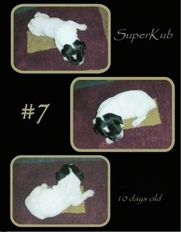 Three pictures of a Brittany Bourbonnais puppy laying on a rug. With the words 'SuperKub #7 Dec 13, 2007 10 days old'