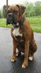 Bruno the Boxer is sitting outside on a blacktop and looking to the left