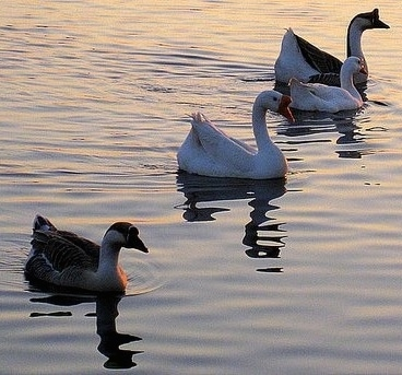 A line of Chinese Swan Geese are swimming in a body of water to the right as the sun goes down over the water.