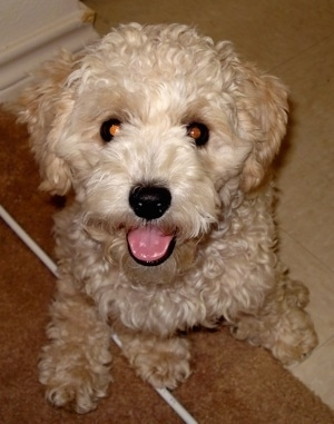 Close Up - Oliver the curly tan Cockapoo is sitting half way on a tan rug and half way on a white tiled flor looking up. His mouth is open and tongue is out