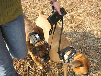 Topdown view of a brown Boxer and a brindle brown with white Boxer that is wearing an Illusion collar and being led on a walk in grass