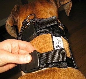 Close up - A person is snapping the clip closed on the Illusion Dog Training Collar that a brown Boxer is wearing.