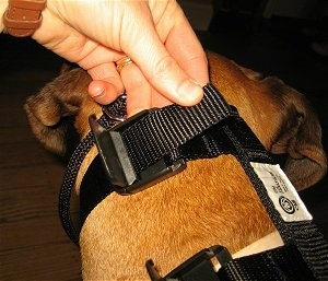 Close up - A person is strapping the Illusion Dog Training Collar onto a brown Boxer.