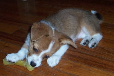 Jody the Corillon puppy is laying on a hardwood floor and chewing on a yellow jelly teething toy