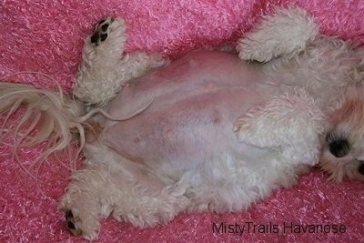 Close Up - Dams stomach laying up-side-down on a fluffy blanket with its tail wagging