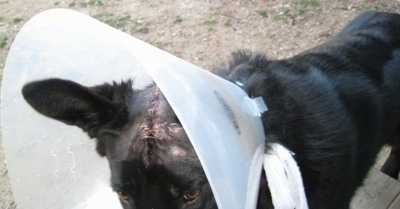 Close Up - A black Shiloh Shepherd with stitches on its head wearing a dog cone outside