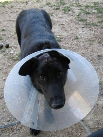 Close Up - A black Shiloh Shepherd with stitches on its head wearing a dog cone while standing on dirt looking into the camera