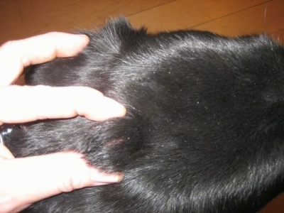 Close Up - Top down view of a black Shiloh Shepherd with a hard lump on its head. A persons hand is touching its head.