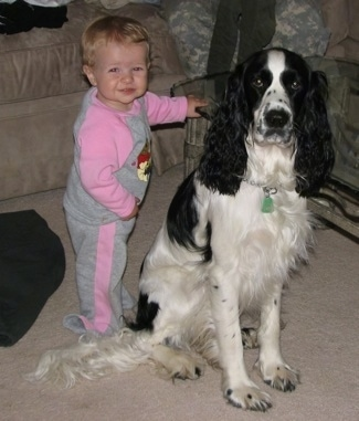 Jager the black and white English Springer Spaniel is sitting next to a glass coffee table and there is a toddler next to him