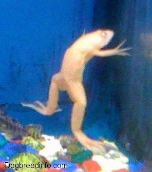 Close up - A Baby Albino Frog is jumping up the side of a fish tank.