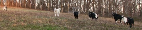 A Great Pyrenees dog is hanging out with a herd of goats around