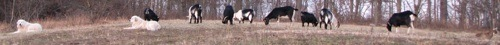 Two Great Pyrenees dogs are laying in a field in front of eight grazing goats