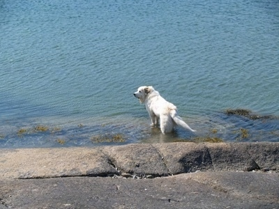 A Great Pyrenees is standing in a body of water with a stone wall behind it and looking to the left
