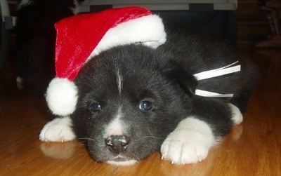 A black and white Karelian Bear puppy is laying down on a hardwood floor wearing a red and white Santa hat