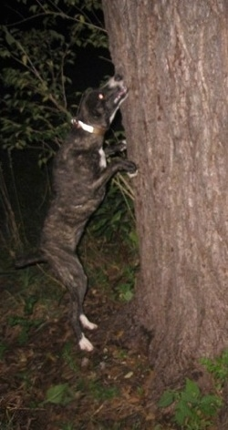 A black brindle with white Mountain Cur dog is jumping up at the side of a tree.