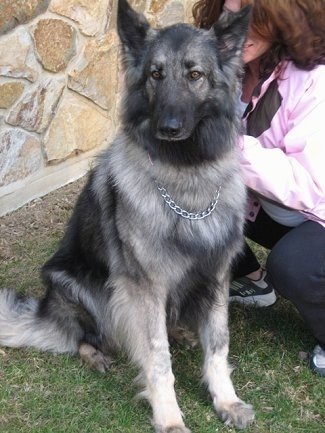 The front right side of a black and grey Shiloh Shepherd that is sitting outside in front of a house with a lady kneeling beside it/