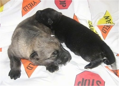 Two new born puppies laying on a blanket