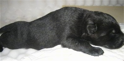 Close up - Theright side of a black puppy that is laying across a towel.