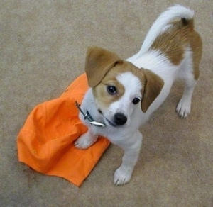 View from above of a drop-eared, white with red Pomeagle puppy standing on a carpet and its front right paw is on top of a bright orange hat looking up. The dog's tail is up.