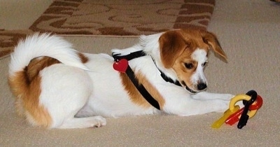 Side view - A white with red Pomeagle puppy laying across a tan carpet with a plastic key toy in its front paws. It is looking down at the toy.