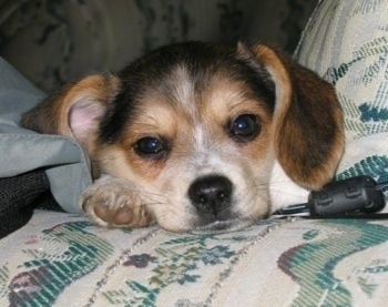 Close up head shot - A drop eared, black, tan and white Pomeagle puppy is laying down on a white and green patterned couch with a black wire next to its front paw.