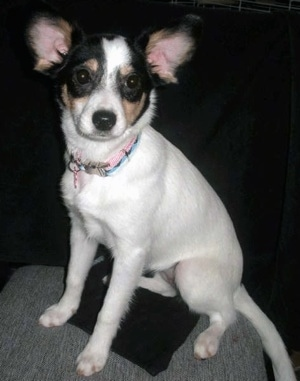 Front side view - A tricolor white with black and tan Rat-A-Pap puppy is sitting on a couch and it is looking forward.