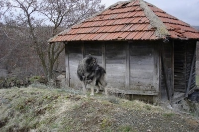 A large breed black and gray Sarplaninac dog is standing outside of a square wooden building with a red roof and it is looking to the right