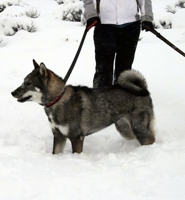 The left side of a black and grey with white and tan Shikoku-Ken standing in deep snow looking to the left. There is a person dressed in winter clothing holding its leash behind it.