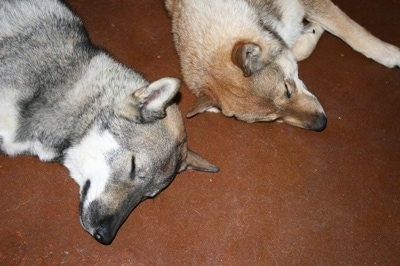 A white and grey Shikoku-ken and a white and tan Shikoku-Ken are sleeping on a floor.