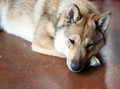 Close up - A tan with black and white Shikoku-Ken is laying down on a floor and it is looking forward. It looks sleepy and it has small perk ears and a thick furry coat.
