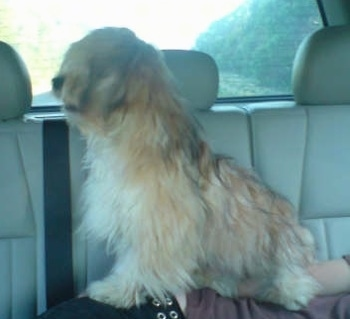 Left Profile - A tan with white Silky-Lhasa dog is sitting on the side of a person who is laying down in the backseat of a vehicle that has tan leather seats.