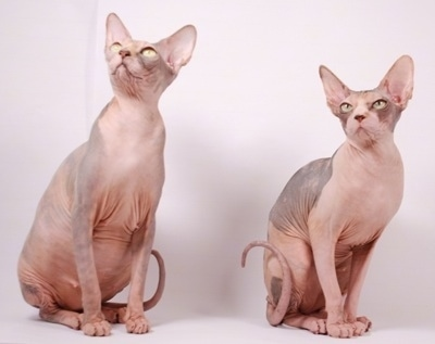 Two Sphynx Hairless Cats are sitting on a white backdrop and looking up and to the left