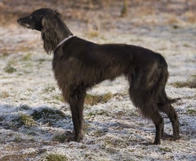 Left Profile - The left side of a black Taigan dog standing across grass with a dusting of snow on top of it. It has longer hair on its ears and legs and belly and a pointy muzzle.