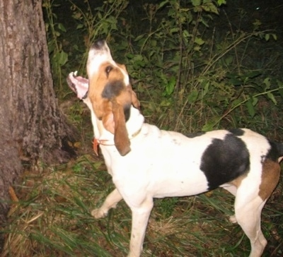 A tall, white with black and brown Treeing Walker Coonhound dog standing across a grass surface and it is barking at something up in a tree at night. It has long drop ears and its mouth is open in mid-bark. It has a black nose.