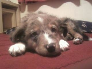 Front view of a blue merle Tri-colored Welsh Sheepdog puppy laying down on a red rug. Its white paws are on each side of its head.