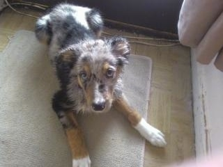Top down view of a tri-colored blue merle Sheepdog puppy that is laying on a tan door mat looking up. It has white paw tips and a dark nose.