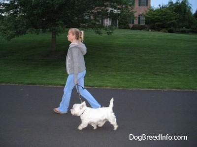 A blonde-haired girl is leading a small West Highland White Terrier dog on a walk down the middle of a road.