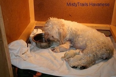 Dam drinking water out of bowl and Pups are nursing