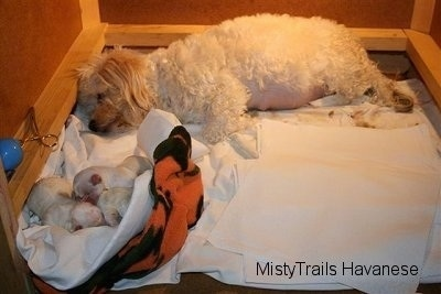 Dam is laying towards the back of the whelping box and the three puppies are towards the front in a towel bundled together
