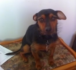 Front view - A black with tan Yorkie Pin dog sitting on top of a floral end table looking forward. It has large perk ears that are pinned back, wide round brown eyes and a black nose. The hair on its head is shorter and it has wiry looking thinner hair poking out from its body.