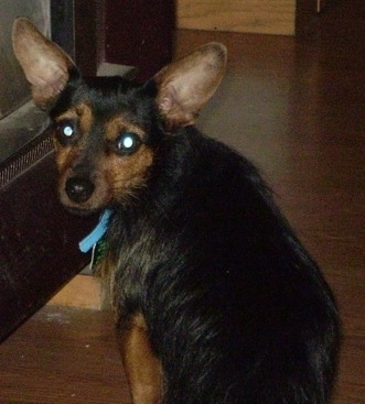 The back left side of a black with tan Yorkie Pin dog sitting on a hardwood floor turned and looking back at the camera. It as large perk ears and a longer coat on is body with shorter hair on its head with wide round eyes and a black nose.