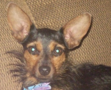 Close up head and upper body shot - A black with tan Yorkie Pin dog laying against the back of a tan couch looking forward. It has very large wide perk ears, wide round brown eyes, a black nose with shorter hair on its head and longer hair on its neck and body.