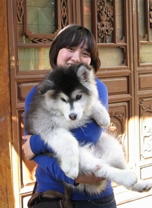 A black,gray and white Alaskan Malamute puppy is being held by a lady in front of a big decorative door